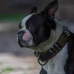 Ike The Boston Bull Terrier