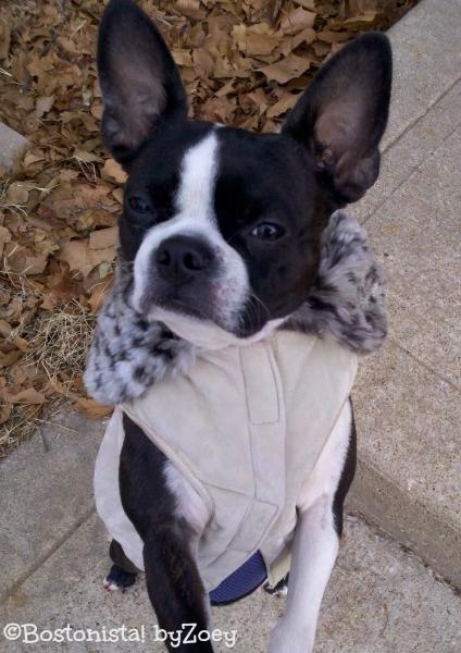 Dog coats- Dogo Leopard coat 1