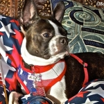 Harnesses- patriotic harness 1
