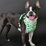 shamrock-harness-1