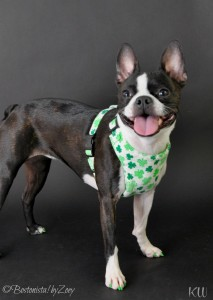 shamrock harness 1